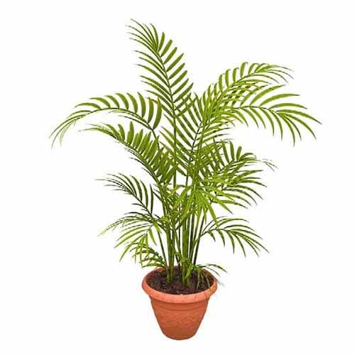 Areca Palm Ossigenazione in casa