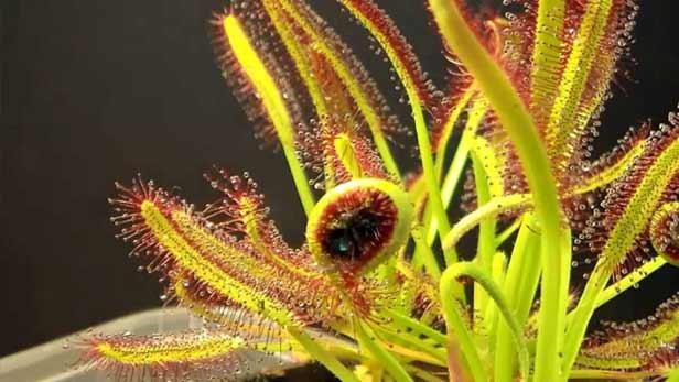 Drosera piante carnivora zanzare