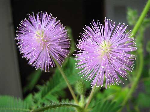 mimosa pudica fiore