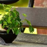 Mimosa Pudica - Mimosa Sensitiva