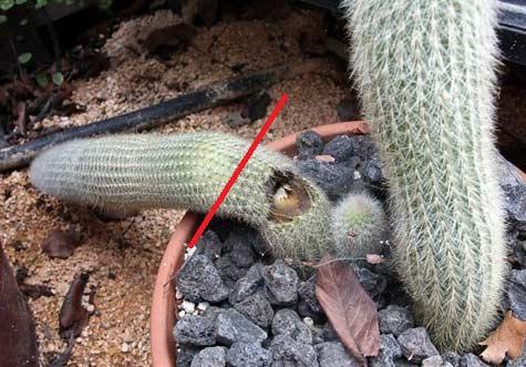 cactus marcio