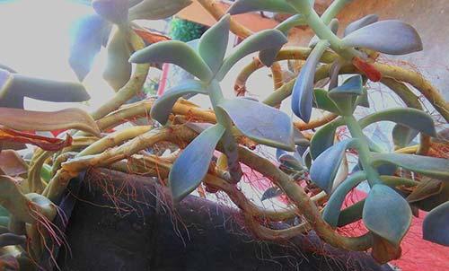 radici aeree pianta grassa