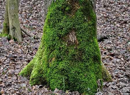 Muschi su un albero