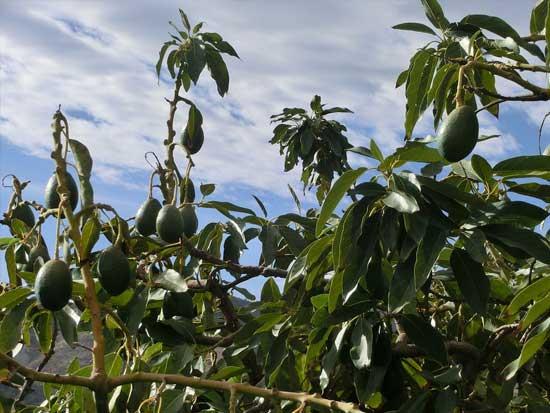 Albero a crescita rapida avocado