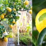 albero-di-limone-da-seme