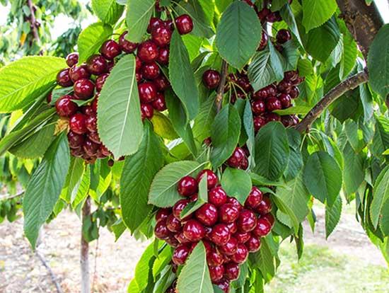 Albero a crescita rapida ciliegio