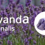 Lavanda officinale coltivazione
