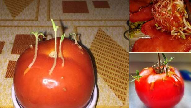 pomodoro-semi-che-germogliano-all-interno