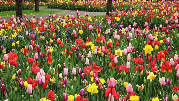 Tulipano tecniche di coltivazione e messa a dimora