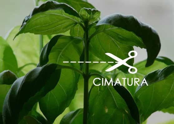 Cimatura Piante aromatiche