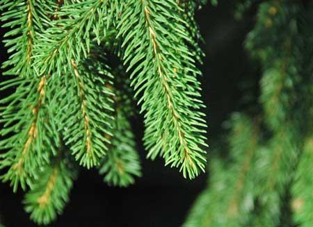 Abete Rosso Peccio- Picea abies