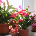 schlumbergera-cura-e-coltivazione