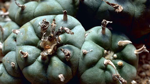 peyote-cactus-allucinogeno