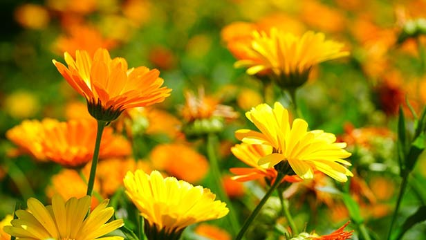 calendula proprietà e benefici