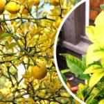 limone in vaso sofferente rimedi