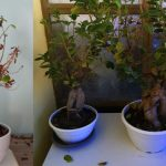 ficus-perdita-di-foglie