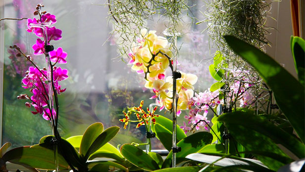 Come far rifiorire le orchidee